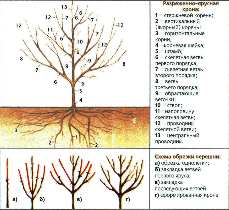 Деревья черешни сильнорослые
